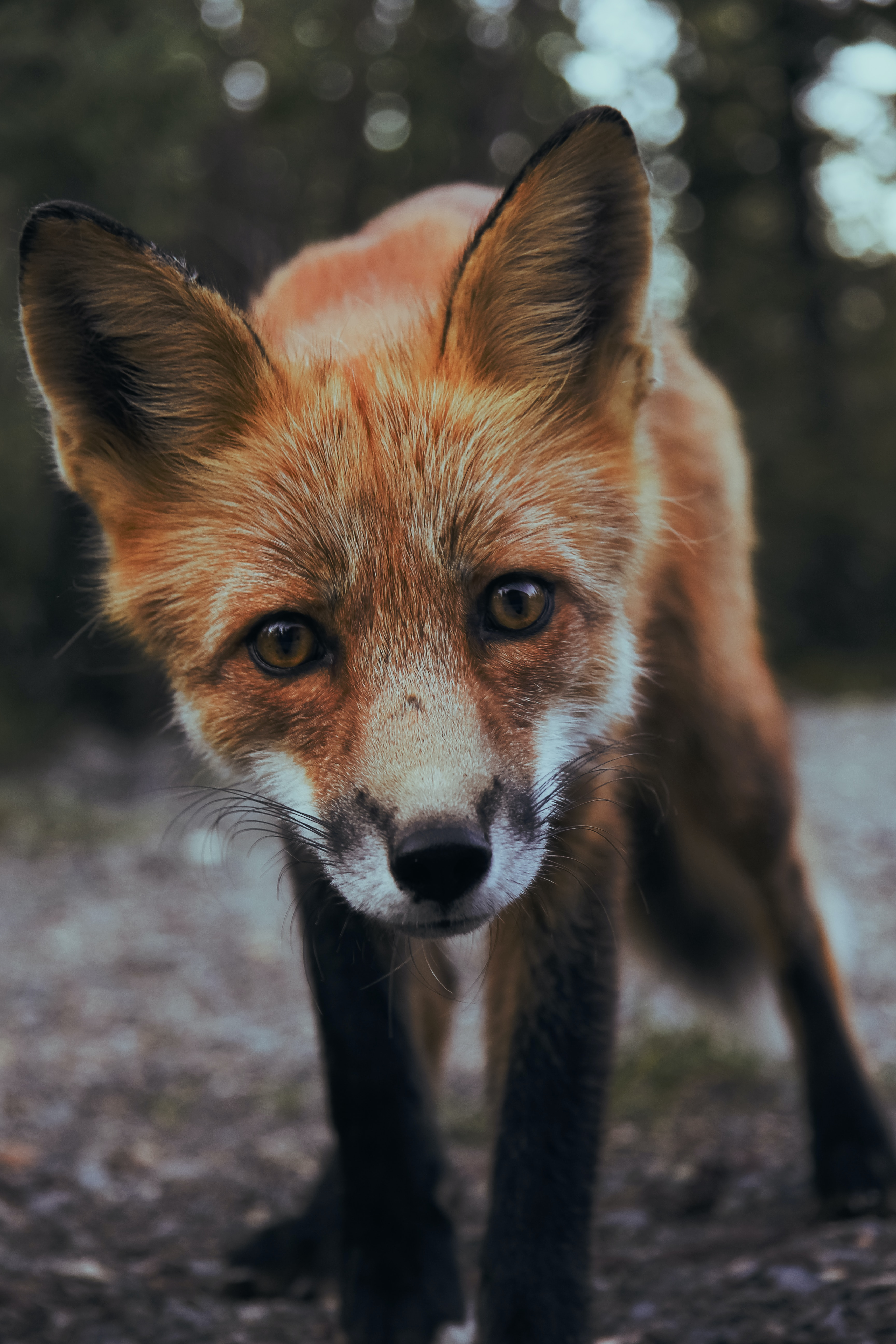 A fox peering directly into the camera that is photographing him from a low angle.