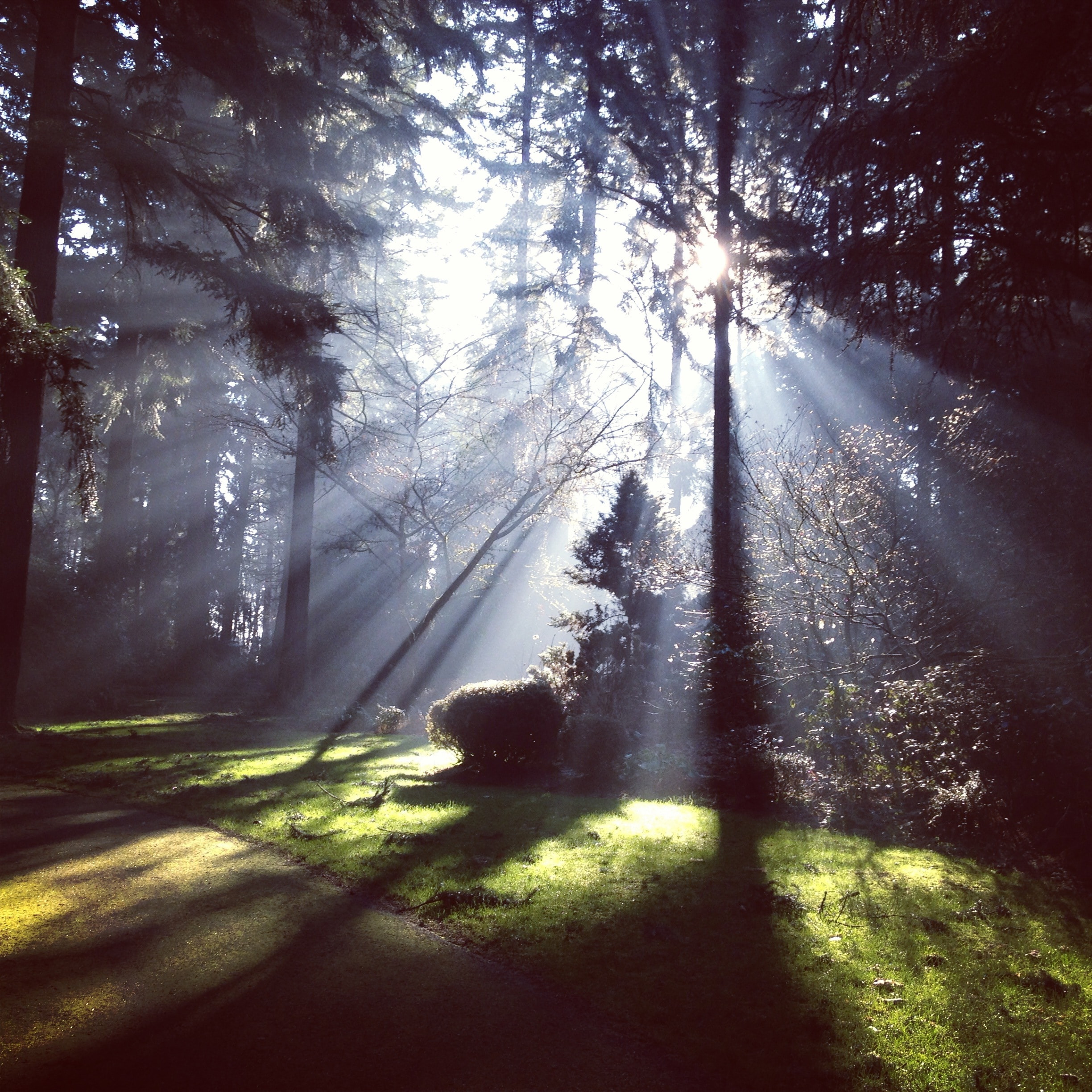 A path surrounded by large evergreen trees with bright light shining through in crepuscular rays