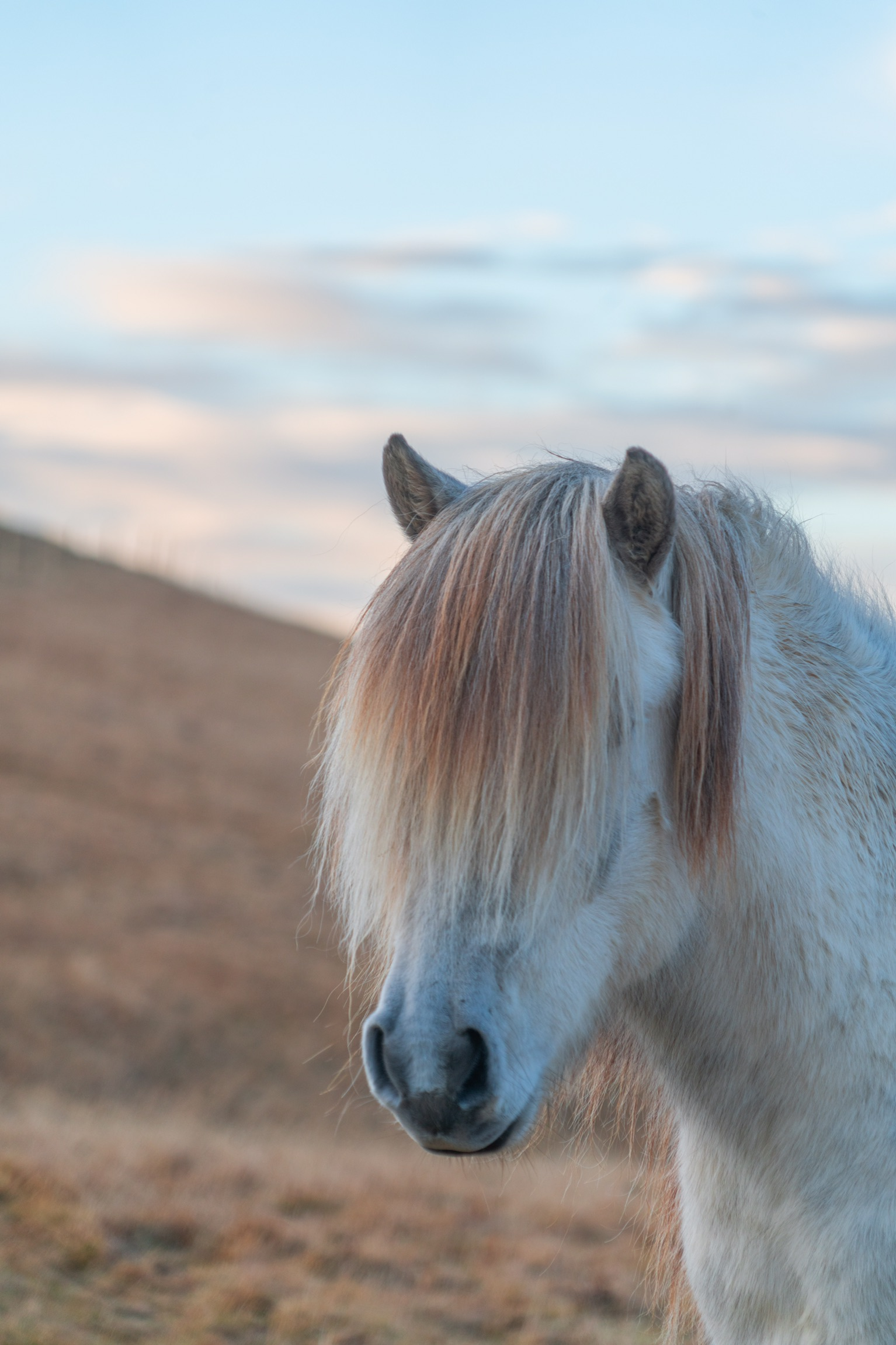 An ivory coloured horse with a dark sandy coloured mane hanging down over its eyes.