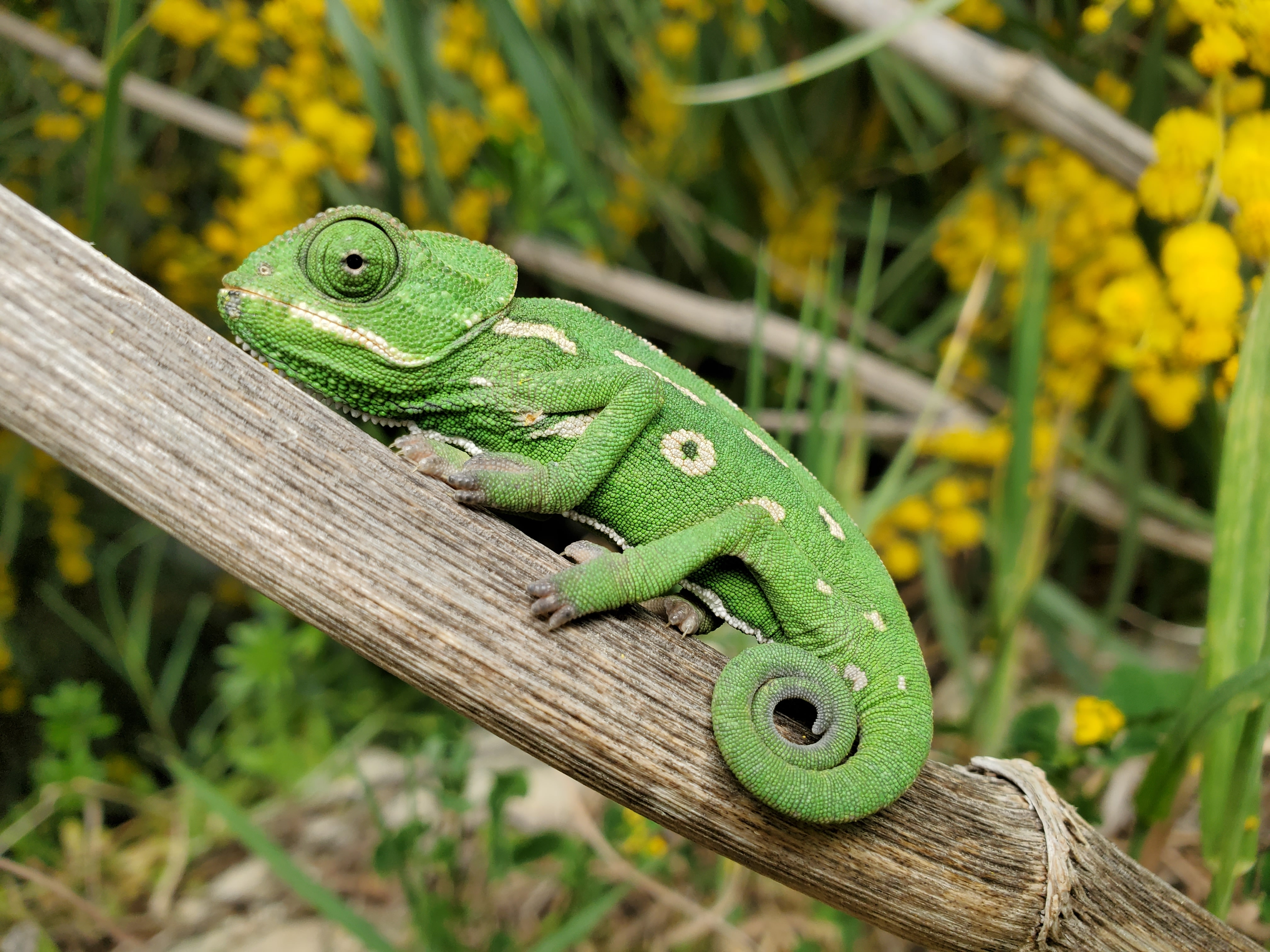 A green chameleon resting on a tree branch with curled tail in front.