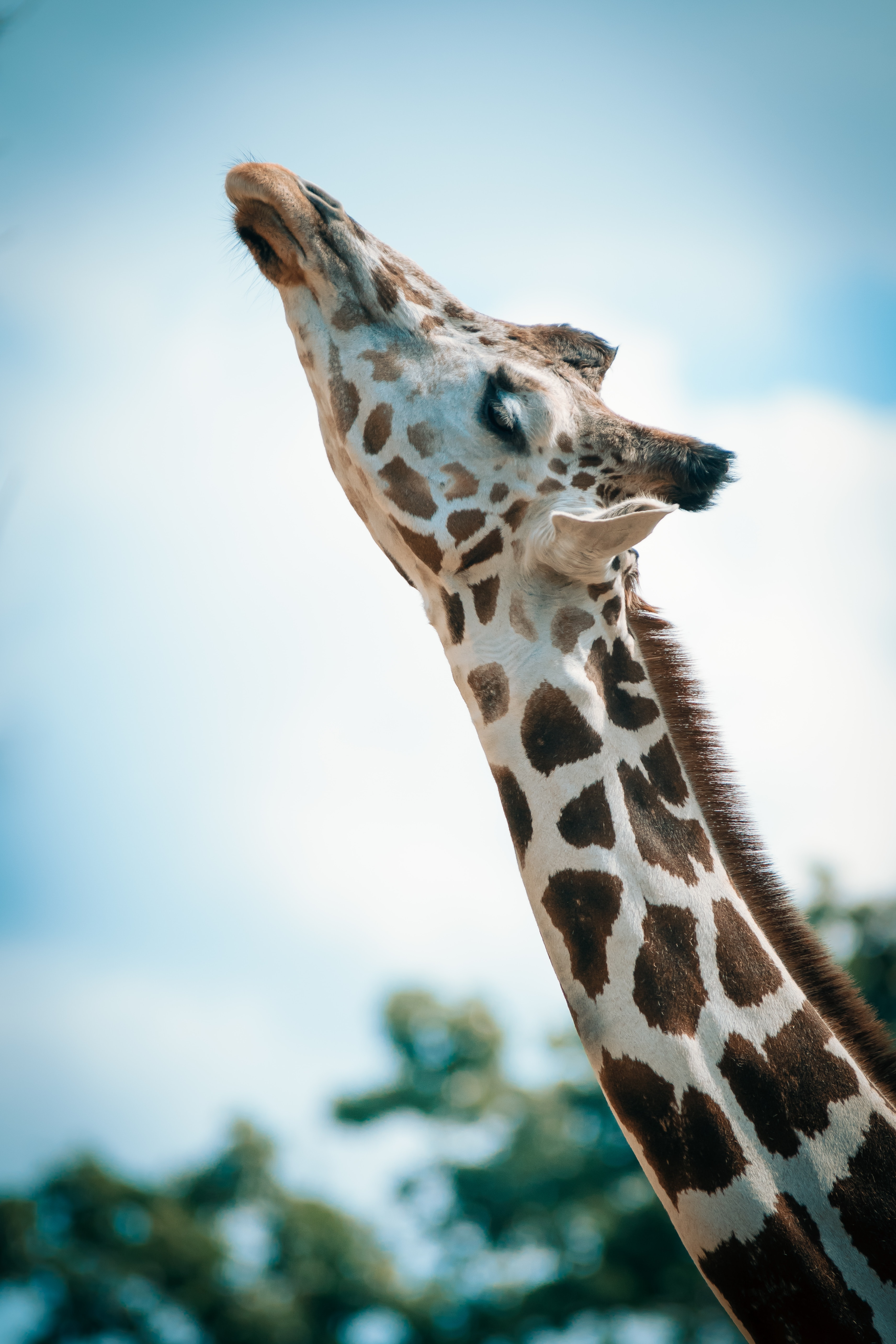 A giraffe looking up so that its neck and head are in a straight line.