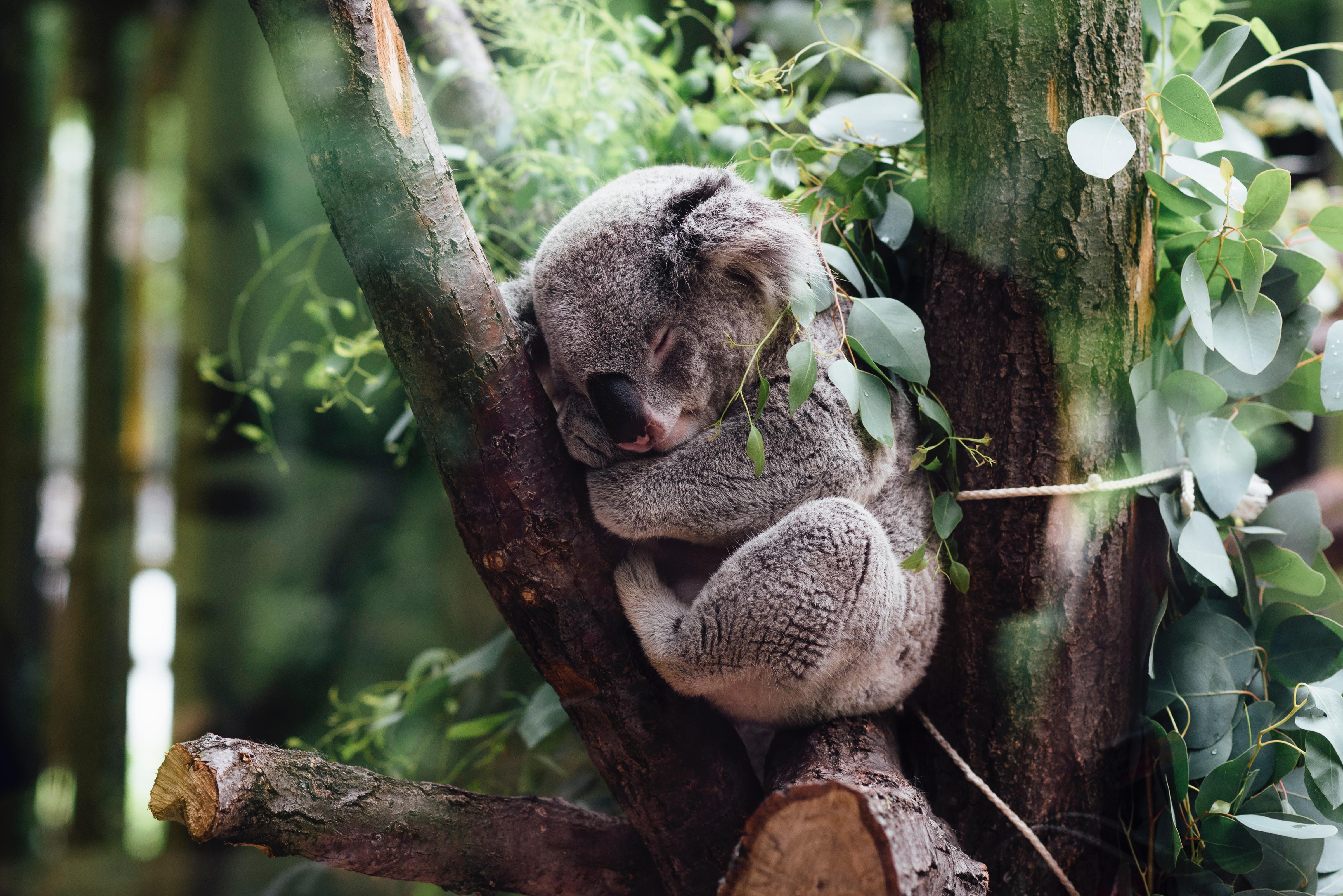 A koala sleeping between large tree branches.