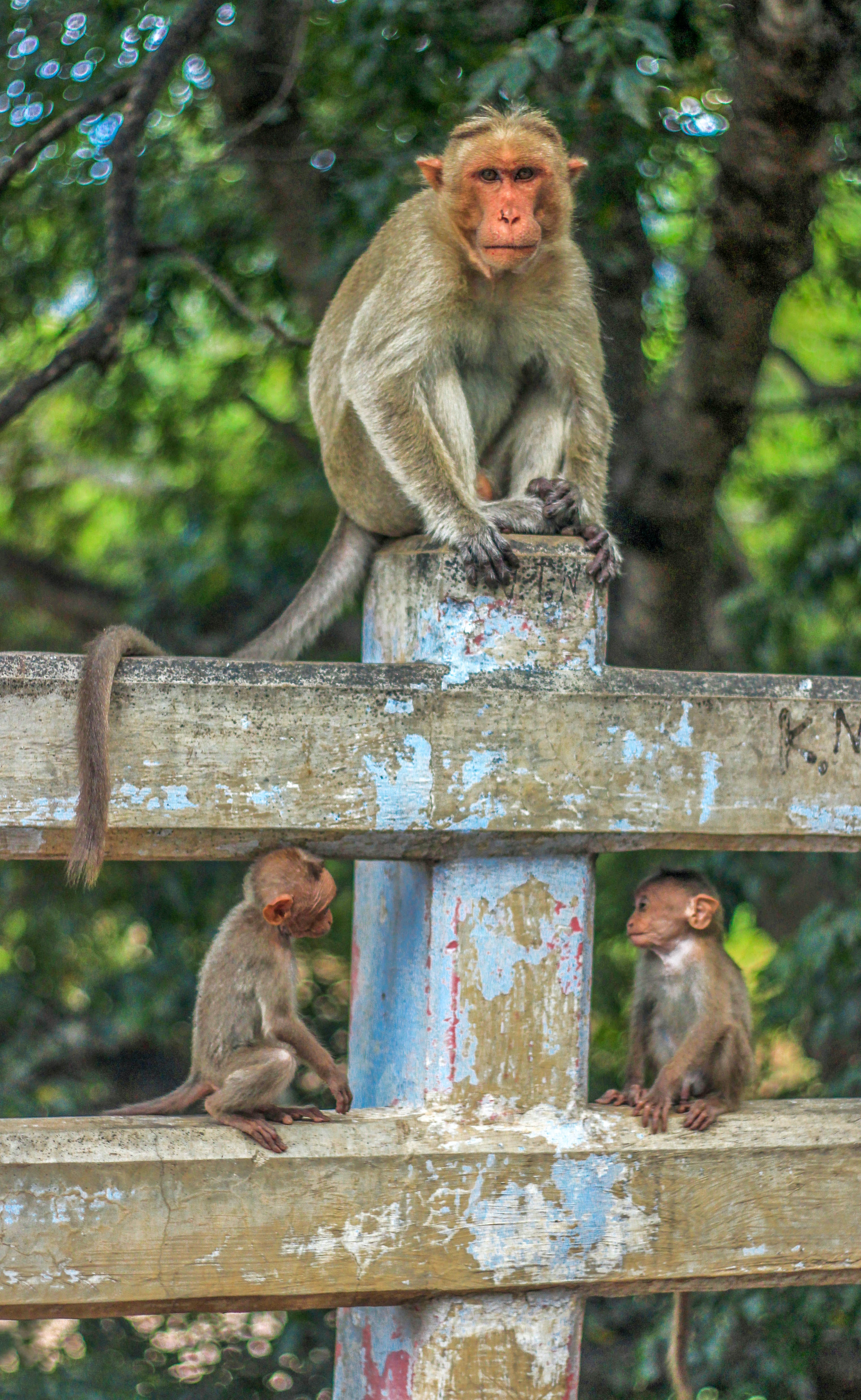 A monkey sitting on a weathered fence post, with two baby monkeys sitting on either side of the fence post on the rail below.